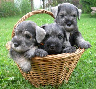 Цвергшнауцер щенки на продажу